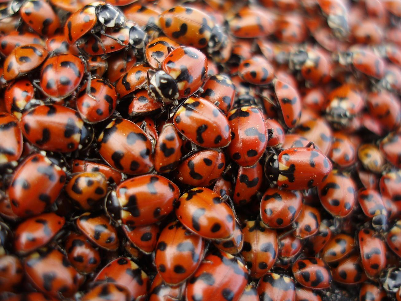 how to tell asian ladybugs
